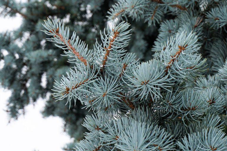 Engagiert bei der Weihnachtsbaumsammlung
